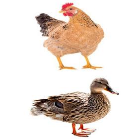Anka &Höns- kyckling